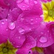 Raindrops On Pink Flowers Art Print