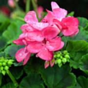 Raindrops On Pink Geranium Art Print
