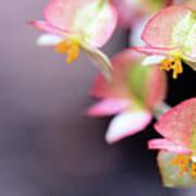 Raindrops On Rare Begoinia Blooms In Macro Art Print