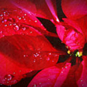 Raindrops On Red Poinsettia Art Print