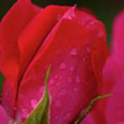 Raindrops On Roses Art Print by Valeria Donaldson