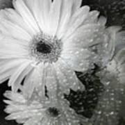 Rainy Day Daisies Art Print