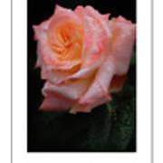 Rainy Rose In Macro Poster Art Print