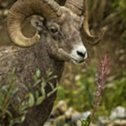 Ram Eating Fireweed Cropped Art Print