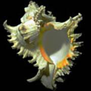 Rams Horn Seashell Murex Ramosus Art Print