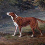 Ranger A Setter The Property Of Elizabeth Gray Art Print
