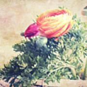 Ranunculus Stilllife Art Print