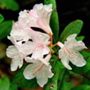 Rare Florida Beauty - Chapmans Rhododendron Art Print