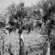 Rare Palm Trees Curacao Art Print