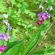 Rare Parry Primrose Spring Inlet Trampas Lake Nm Art Print