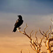 Raven On Sunlit Tree Branches, Grand Canyon Print by Trina Dopp Photography