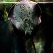 Ray Fish In Paludarium In Zoo Art Print