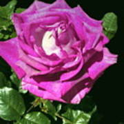 Rays Purple Passion Art Print