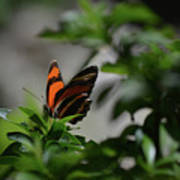 Really Elegant Oak Tiger Butterfly In Nature Art Print