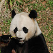 Really Great Panda Bear Chomping On A Fistful Of Bamboo Art Print