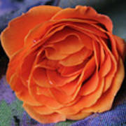 Really Orange Rose Art Print