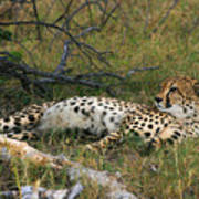 Reclining Cheetah 2 Art Print