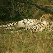 Reclining Cheetah Profile Art Print