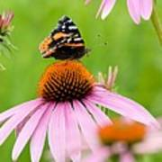 Red Admiral And Cone Flowers Art Print