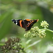 Red Admiral Art Print