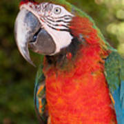 Red-and-green Macaw Art Print