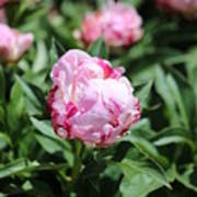 Red And Pink Peony Art Print