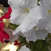 Red And White Petunias Art Print