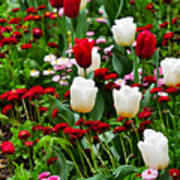 Red And White Tulips With Red And Pink English Daisies In Spring Art Print