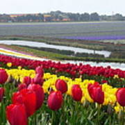 Red And Yellow Tulip Fields Art Print
