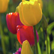 Red And Yellow Tulips Closeup Art Print