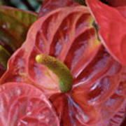 Red Anthuriums Art Print