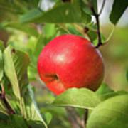 Red Apple On A Tree Art Print