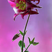 Red Aquilegia 2 Art Print