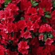 Red Azalea Blooms Art Print