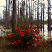 Red Azaleas In The Swamp Art Print