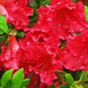 Red Azaleas Art Print
