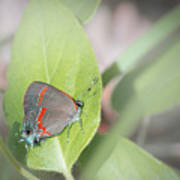 Red-banded Hairstreak Butterfly Art Print