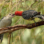 Red Bellied Woodpecker Feeding Young Art Print