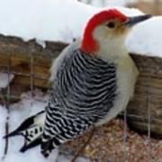 Red Bellied Woodpecker 5 Art Print