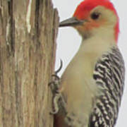 Red-bellied Woodpecker II Art Print