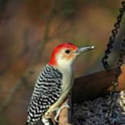 Red-bellied Woodpecker Art Print