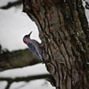 Red Bellied Woodpecker No 2 Art Print