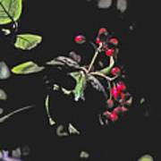 Red Berries And Foliage Art Print