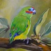 Red Browed Fig Parrot  Art Print