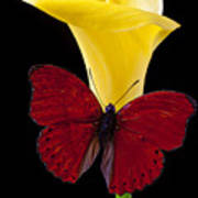 Red Butterfly And Calla Lily Art Print
