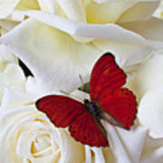 Red Butterfly On White Roses Art Print