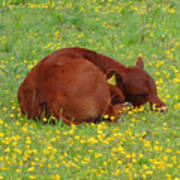 Red Calf In The Buttercup Meadow Art Print