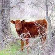Red Calf In Winter Brush Art Print