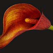 Red Calla Lily Art Print