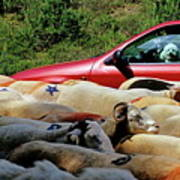 Red Car Blocked By A Flock Of Sheep Art Print by Sami Sarkis
